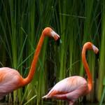 flamingos-wallpaper