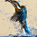 kingfisher-bird-wallpaper
