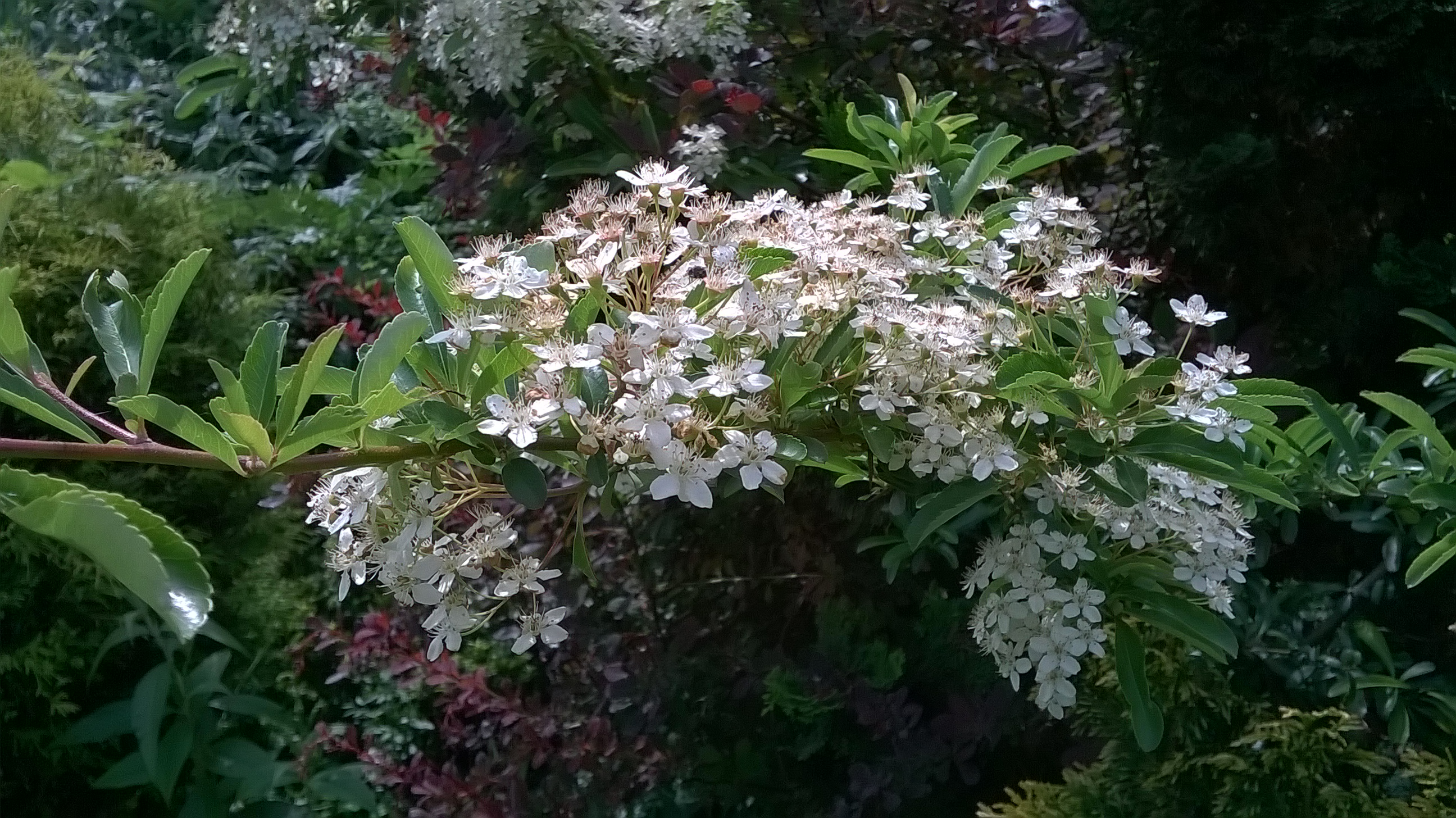 blossom-s