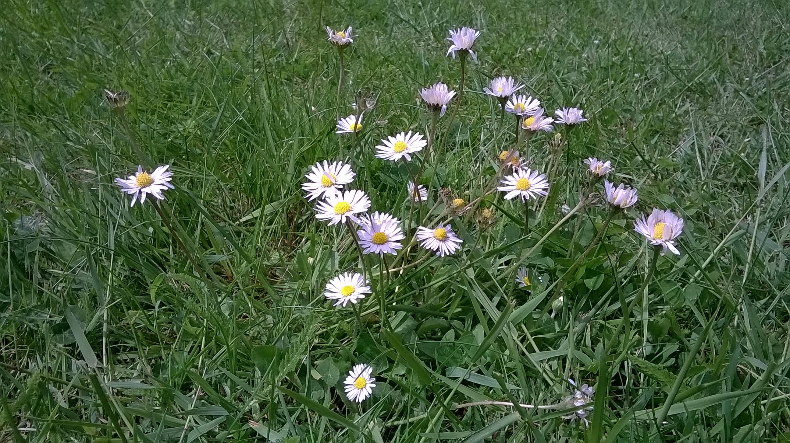 daisies-s